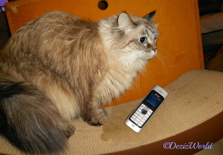 Dezi stands on cat scratcher with phone