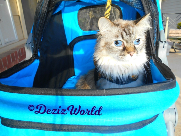 Close up of Dezi sitting pretty in the stroller outside