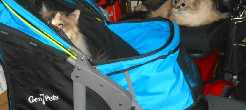 Service Cats: What Age Should Kitty Be Altered & Preparing For A Trip To TheVET