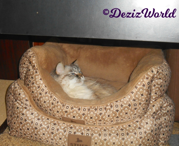Dezi lays in cat bed with a snarky look