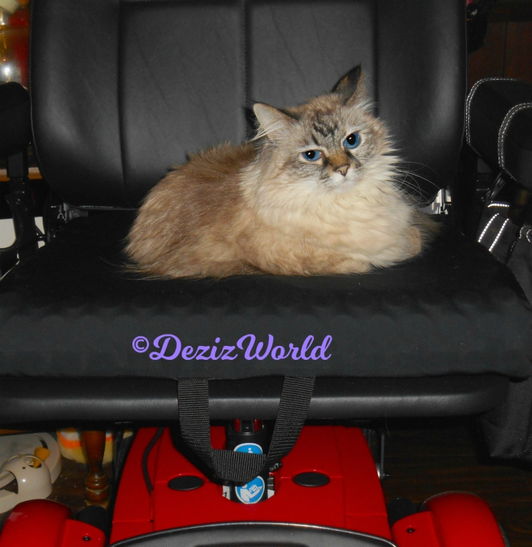 Dezi lays in wheelchair looking at camera