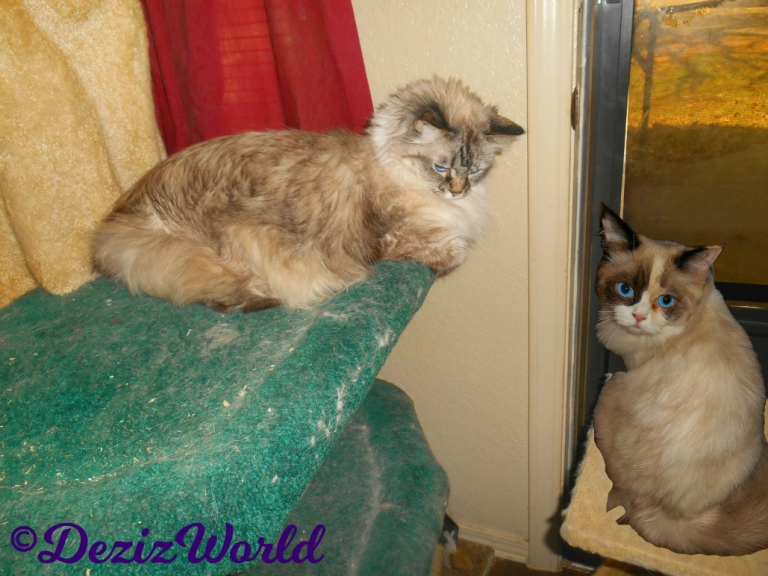 Dezi lays on the liberty cat tree with Raena sitting on perch looking out the door