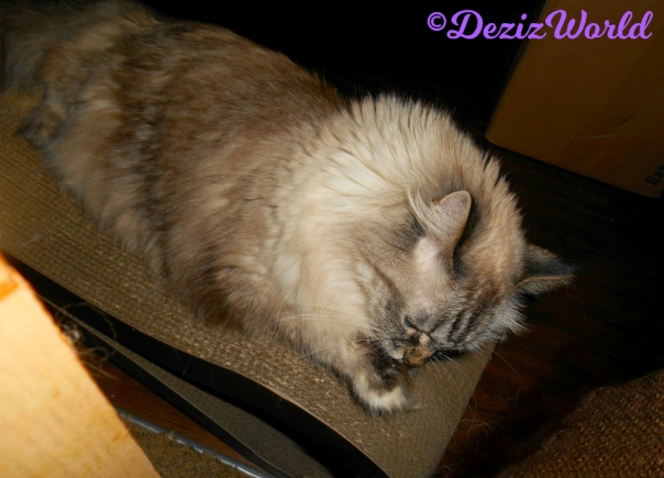 Dezi lays on scratcher and licks paw