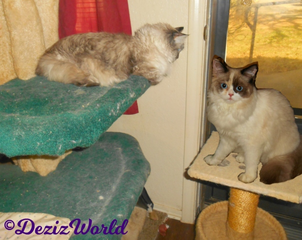 Dezi lays on the liberty cat tree looking outside while RAena poses on the small perch in front of door