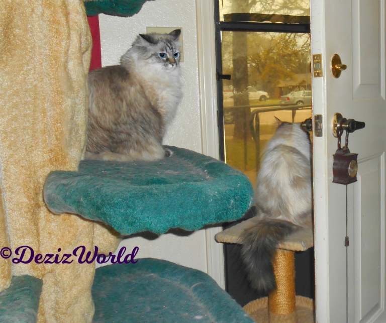 Dezi sits on the liberty cat tree while Raena sits on the small perch looking out the door