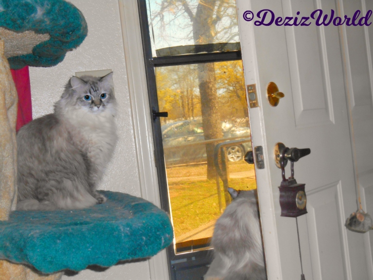 Dezi sits on cat tree looking at camera while Raena sits on small perch looking out the door