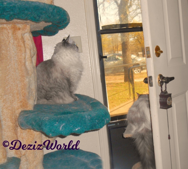 Dezi sits on cat tree and Raena sits on small perch while looking out the door
