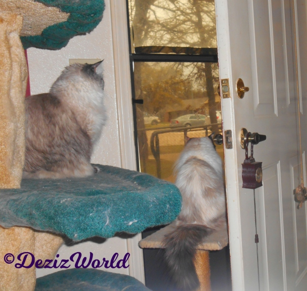 Dezi sits on cat tree and Raena sits on small perch while looking out the front door