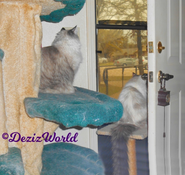 Dezi sits on cat tree and Raena sits on perch while looking out the door