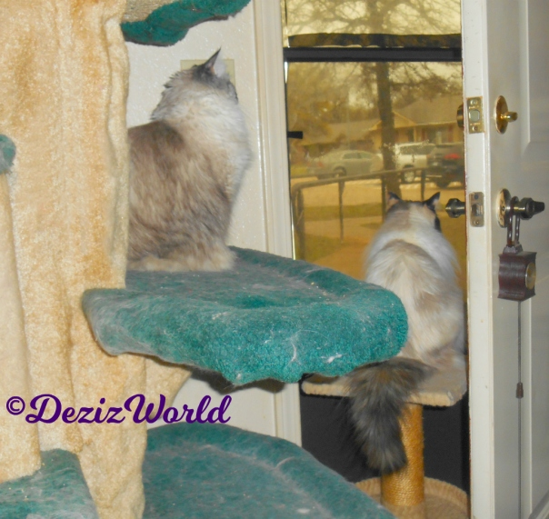 Dezi sit on cat tree and Raena sits on small perch while looking out the door