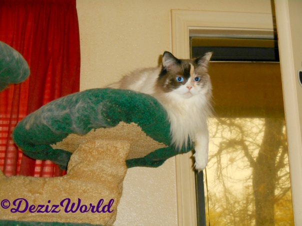 Raena lays atop Liberty Cat tree and hangs paw over edge