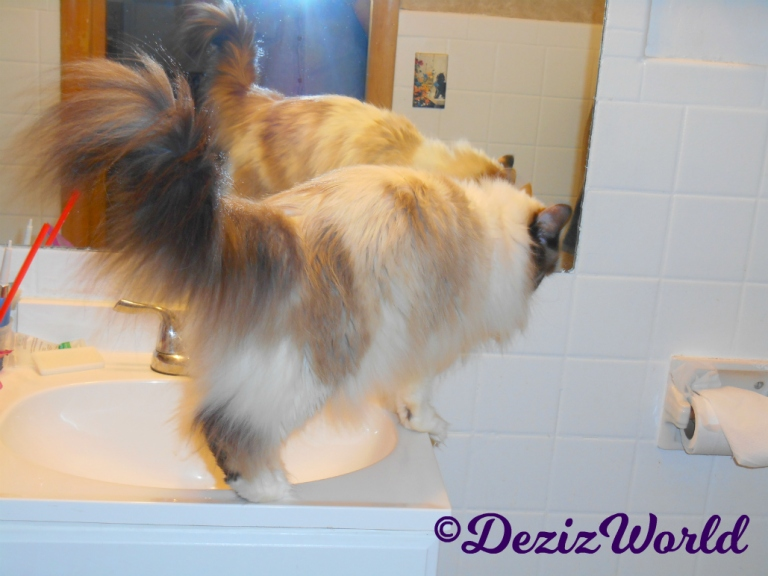 Raena walks on the sink at the Cat Motel in 2018
