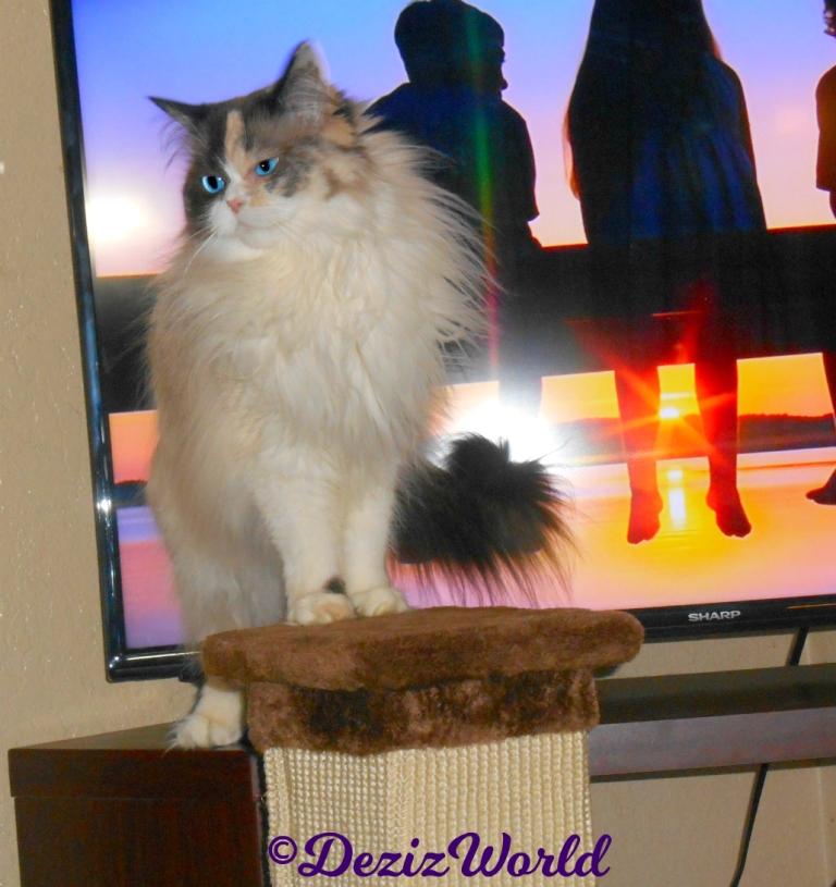 Raena stands atop the scratcher in front of the tv