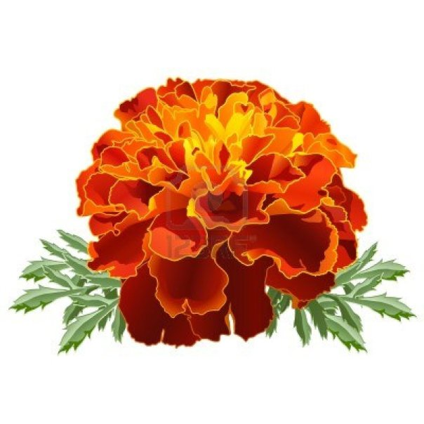 Marigold Flower clip art
