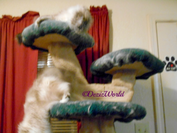 Dezi lays atop the liberty cat tree looking down at Raena jumping off, blurry blooper