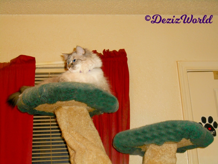 Dezi lays atop the liberty cat tree in calming collar