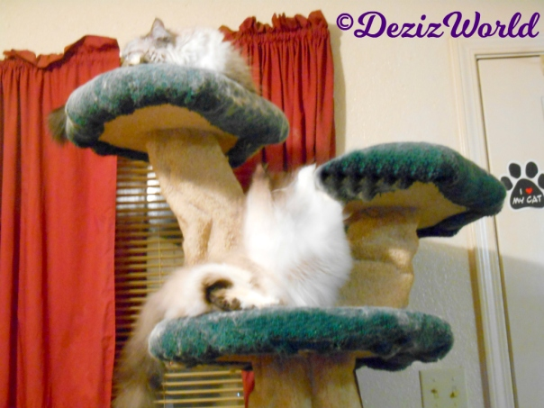 Dezi lays atop the liberty cat tree while Raena starts an attack from the ledge below