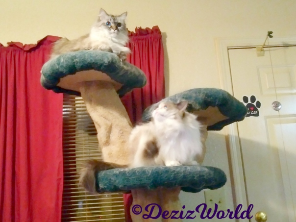 Dezi lays atop the liberty cat tree while Raena scratches her neck on the ledge below