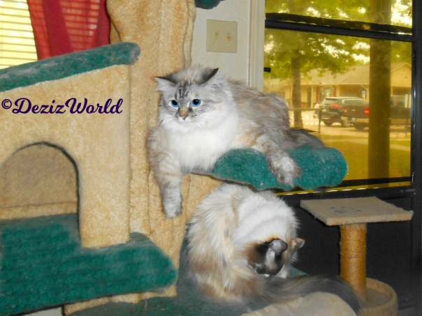 Dezi lays with arm hanging over edge of the liberty cat tree while Raena bathes on the shelf below her.