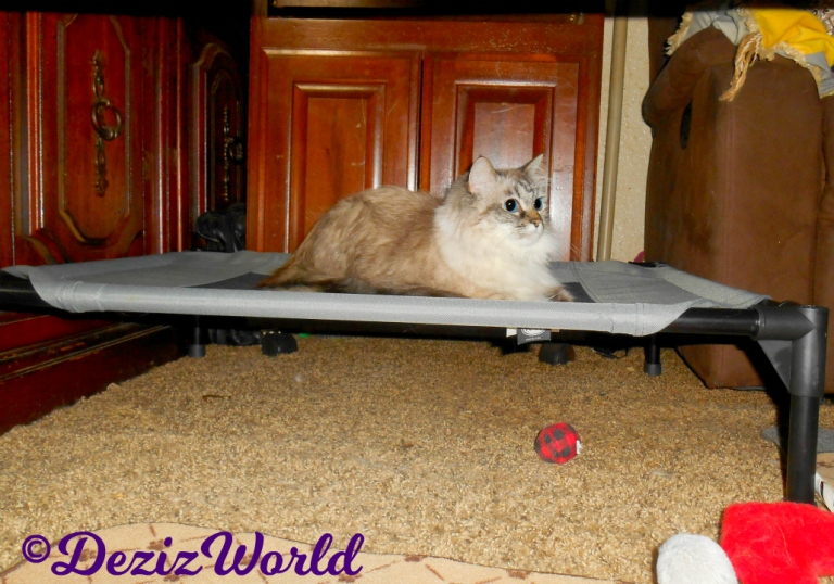 Dezi the Ragdoll Cat lays on the pet Cot