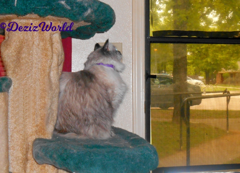Dezi looks out the door while sitting on the liberty cat tree