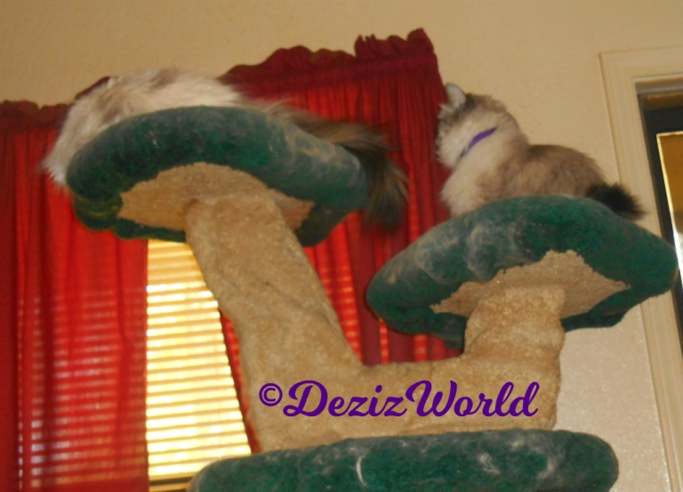 Dezi sits atop the liberty cat tree looking at Raena laying on the top ledge