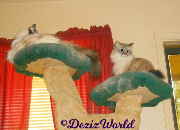 Dezi sits atop the liberty cat tree and Raena lays on the top ledge