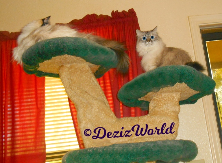 Dezi sits atop the liberty cat tree posing while Raena lays on the top ledge