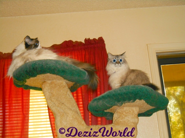 Dezi sits atop the Liberty Cat tree while Raena lays on the top ledge looking out the door