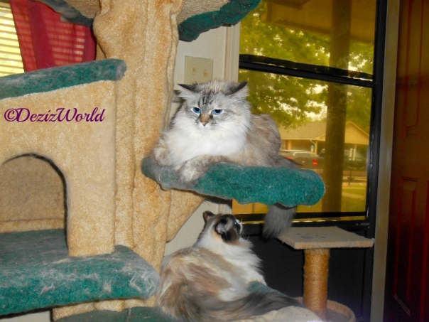 Dezi and Raena lay on the liberty cat tree