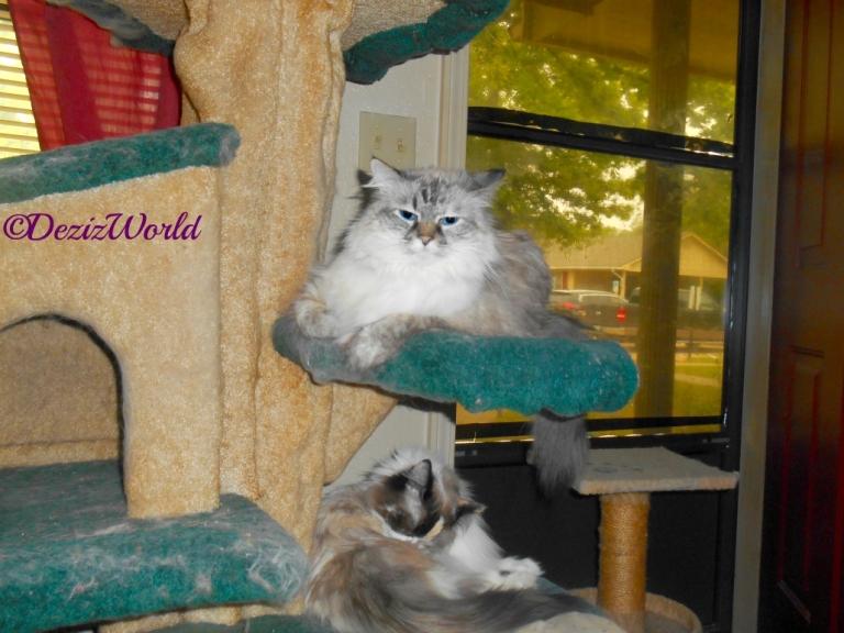 Dezi lays on cat tree while Raena bathes laying on cat tree