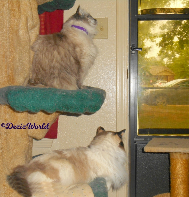 Dezi and Raena stare intently out the door from the liberty cat tree