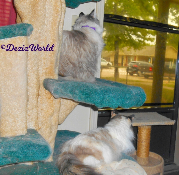 Dezi and Raena look out the door while sitting and laying on the liberty cat tree