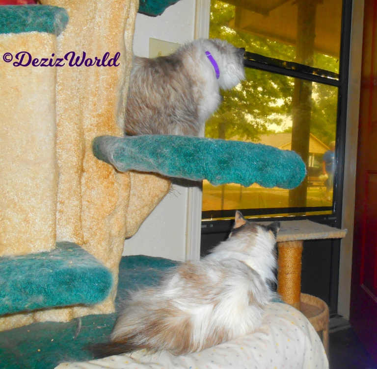 Dezi and Raena look out door while sitting and laying on the liberty cat tree