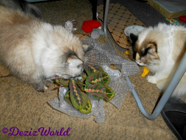 Dezi and Raena sniff the maranta from Ellen for mommy A's birthday
