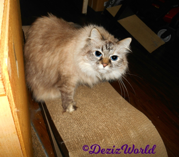 Dezi looks at camera while sitting on cat scratcher