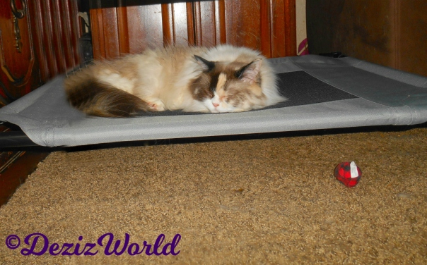 Raena the Ragdoll cat sleeps on the pet cot