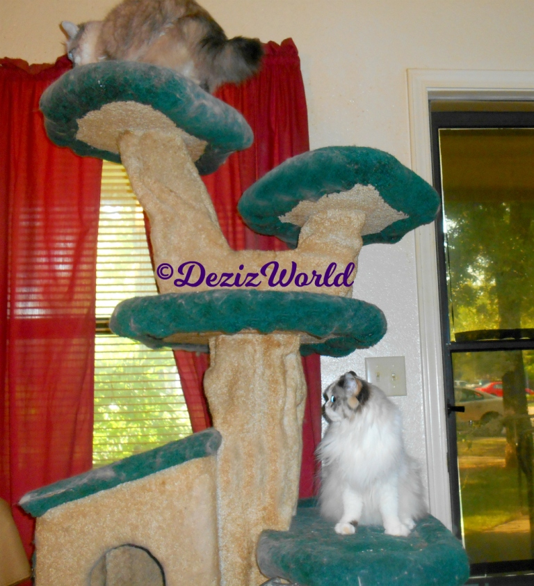 Dezi atop the liberty cat tree with Raena sitting pretty on a lower ledge