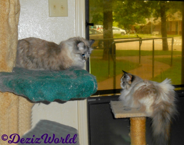 Dezi lays on liberty tree and Raena on the small perch looking at each other in front of the door.