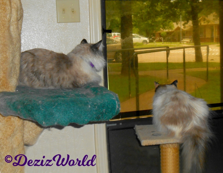 Dezi lays on cat tree and Raena lays on perch while looking outside