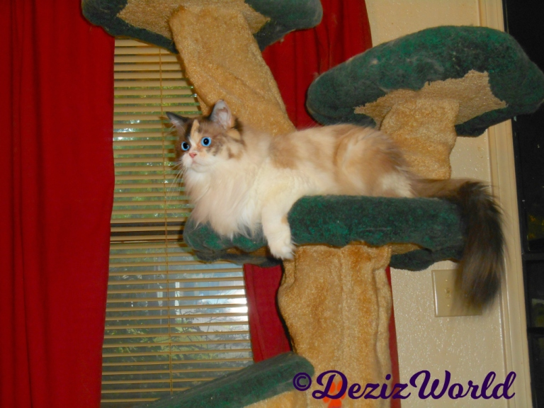 Raena lays on the liverty cat tree