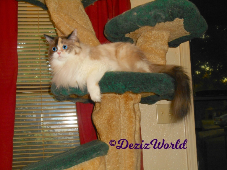 Raena lays on the liberty cat tree looking off into space