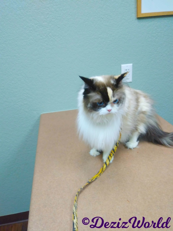 Raena sits on the table at the Vet's office