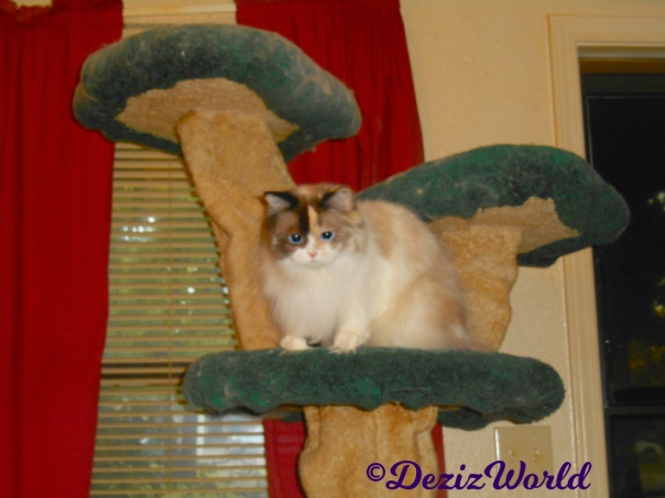 Raena hunches on the liberty cat tree
