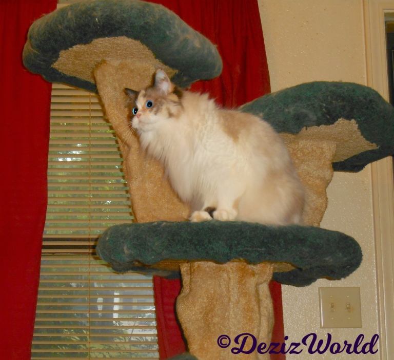 Raena sits on the liberty cat tree staring up at a fly