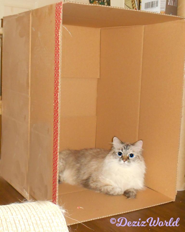 Dezi lays in a box