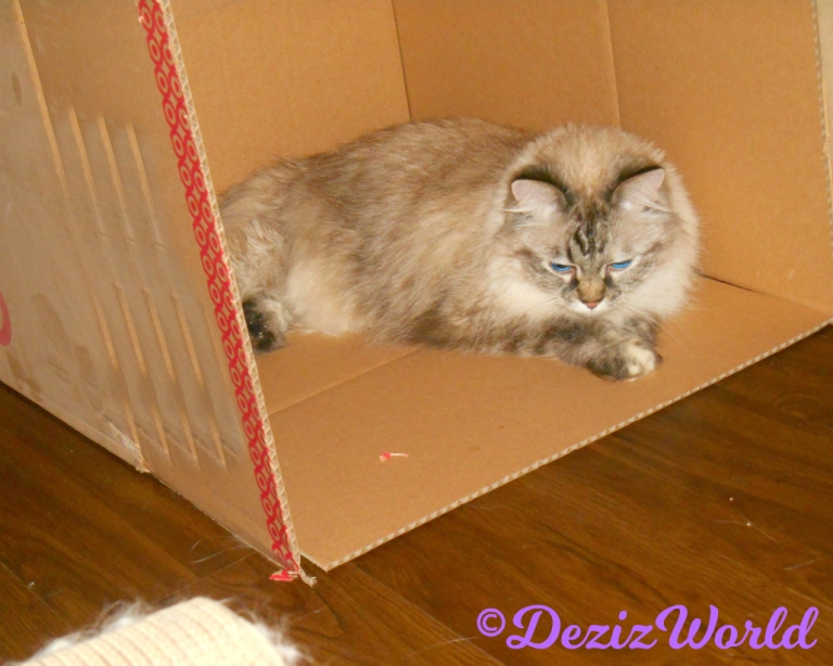 Dezi lays in a box licking her paw