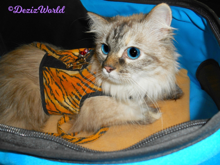 Dezi lays in stroller with tiger kitty holster harness on.