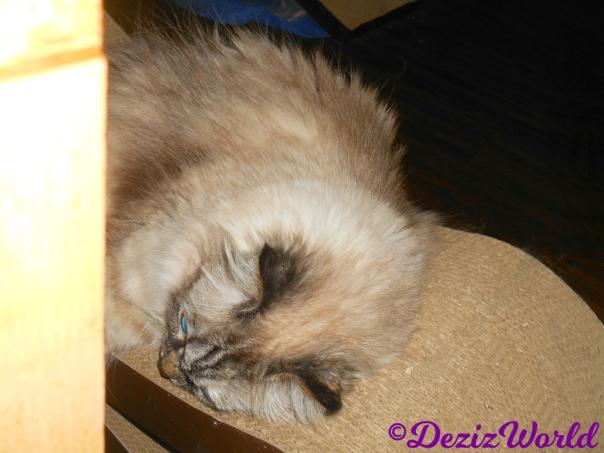 Dezi lays on scratching pad
