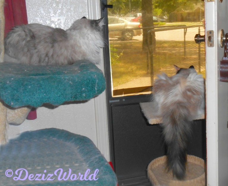 Dezi lays on the liberty cat tree while Raena lays on the small perch and looks out the door
